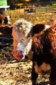 Hereford Calf — Stock Photo