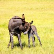 Portrait of a mother and baby Burro — Stock Photo