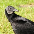 Stock Photo: Black Vulture