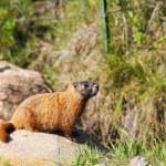 Marmot — Stock Photo #22795220