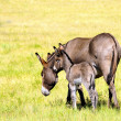 Mother and Baby Burro — Stock Photo #22795226