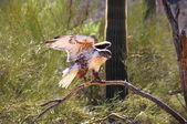 Falcão ferruginea — Fotografia Stock