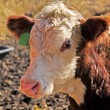 Hereford Calf — Foto Stock #25486675