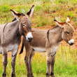 Mother and Baby Burro — Stock Photo #33226743