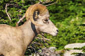Male Big Horn Sheep — Stock Photo