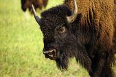 Ritratto di un bufalo — Foto Stock