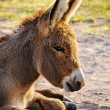 Baby Burro — Stock Photo #40415717
