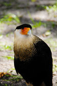 Crested Caracara — Foto Stock