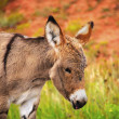 Baby Burro — Stock Photo