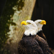 Two American Bald Eagles — Stock Photo #41622801