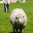 Stock Photo: Closeup of Ewe