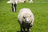 Closeup of a Ewe — Stock Photo