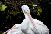 Two Pink Backed Pelicans — Stock Photo