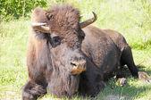 Buffalo — Stock fotografie