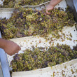 Workers Processing White Wine Grapes at a Vineyard - Foto Stock
