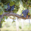 Lush, Ripe Wine Grapes on the Vine — 图库照片
