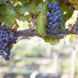 Lush, Ripe Wine Grapes on the Vine — Stock Photo #13840110