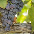 Lush, Ripe Wine Grapes on the Vine — Stock Photo #13840119