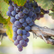 Lush, Ripe Wine Grapes on the Vine - Stock Photo