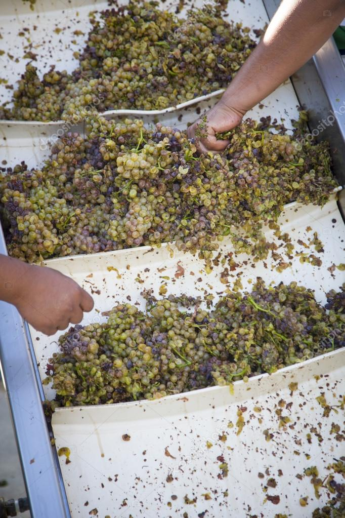 Male Workers Processing White Wine Grapes at a Vineyard. — Stock Photo #13840062