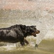 Happy Rottweiler Playing in the Water Fountain — Stock Photo