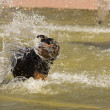 Stock Photo: Happy Rottweiler Playing in the Water Fountain