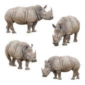 Satz von rhinoceros isoliert auf weißem hintergrund — Stockfoto