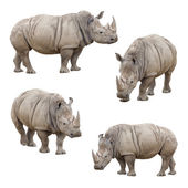 Set of Rhinoceros Isolated on a White Background — Stok fotoğraf