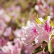 Beautiful Pink Flowers Blooming in Spring - Stock Photo