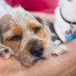 Cute Terrier Puppy Look On As Master Holds Her — Stock Photo #25084261