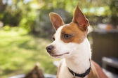 Cute Jack Russell Terrier — Stock Photo
