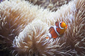 Beautiful Clownfish and Sea Anemone — Stock Photo