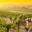 Grape Vineyard with Old Barrel Carriage Wago — 图库照片
