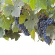Beautiful Lush Grape Bushels and Vines on White — ストック写真