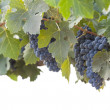 Beautiful Lush Grape Bushels and Vines on White — Stockfoto