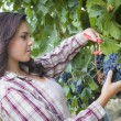Young Mixed Race Woman Harvesting Grapes in Vineyard — Stock Photo