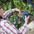 Young Mixed Race Woman Harvesting Grapes in Vineyard — Stock Photo #29863041