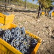 Workers Harvest Ripe Red Wine Grapes Into Bins — Stock Photo #31511647