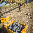 Workers Harvest Ripe Red Wine Grapes Into Bins — Stock Photo #31512071