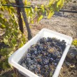 Wine Grapes In Harvest Bins One Fall Morning — Stock Photo #31513581