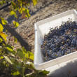 Wine Grapes In Harvest Bins One Fall Morning — Stock Photo #31515797
