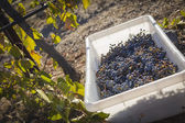 Wine Grapes In Harvest Bins One Fall Morning — Stock Photo