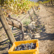 Wine Grapes In Harvest Bins One Fall Morning — Stock Photo #31588265