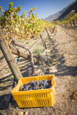 Wine Grapes In Harvest Bins One Fall Morning — Stockfoto