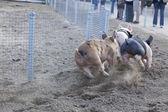 Spaß Tag auf das kleine Schwein-Rennen — Stockfoto