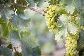 Lush White Grape Bushels Vineyard in The Morning Sun — Stock Photo