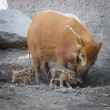 Постер, плакат: Visayan Warty Piglet with Mother