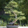 Elm Bonsai Tree — Stock Photo #44043527