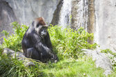 Relaxed Western Lowland Gorilla — Stock Photo