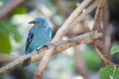 Fairy-bluebird of Malaysia and the Philippines — Foto de Stock